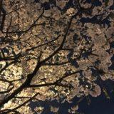 明治通りの夜桜