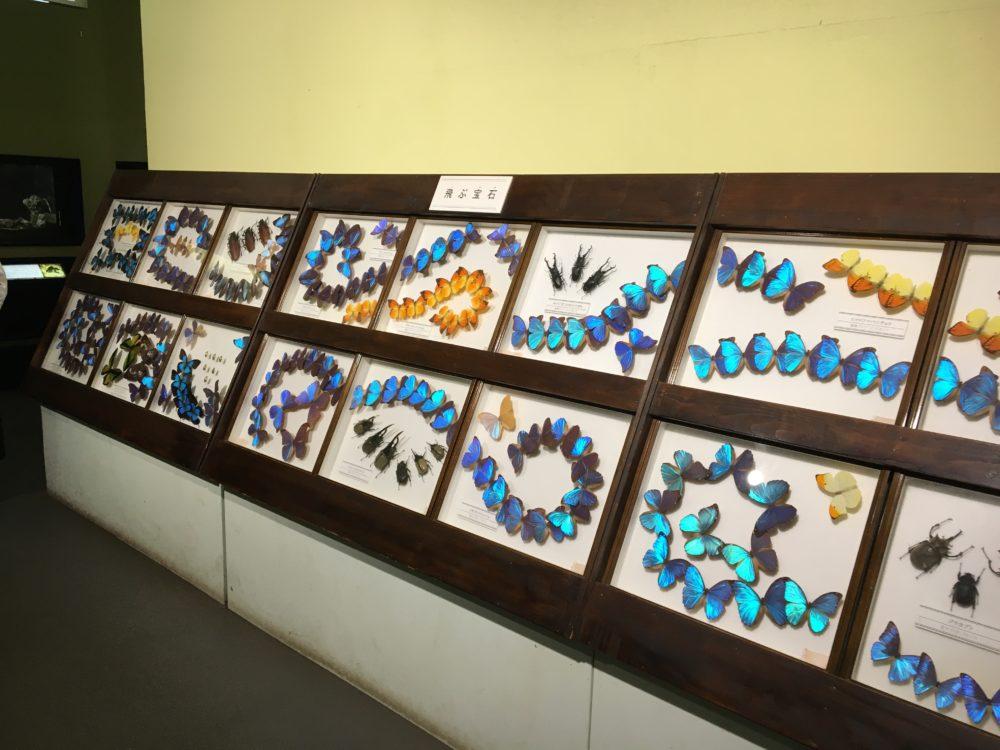 蝶の剥製1