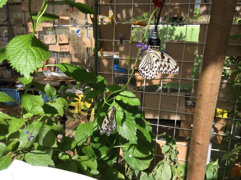 てだこチョウハウスの葉っぱに止まる蝶