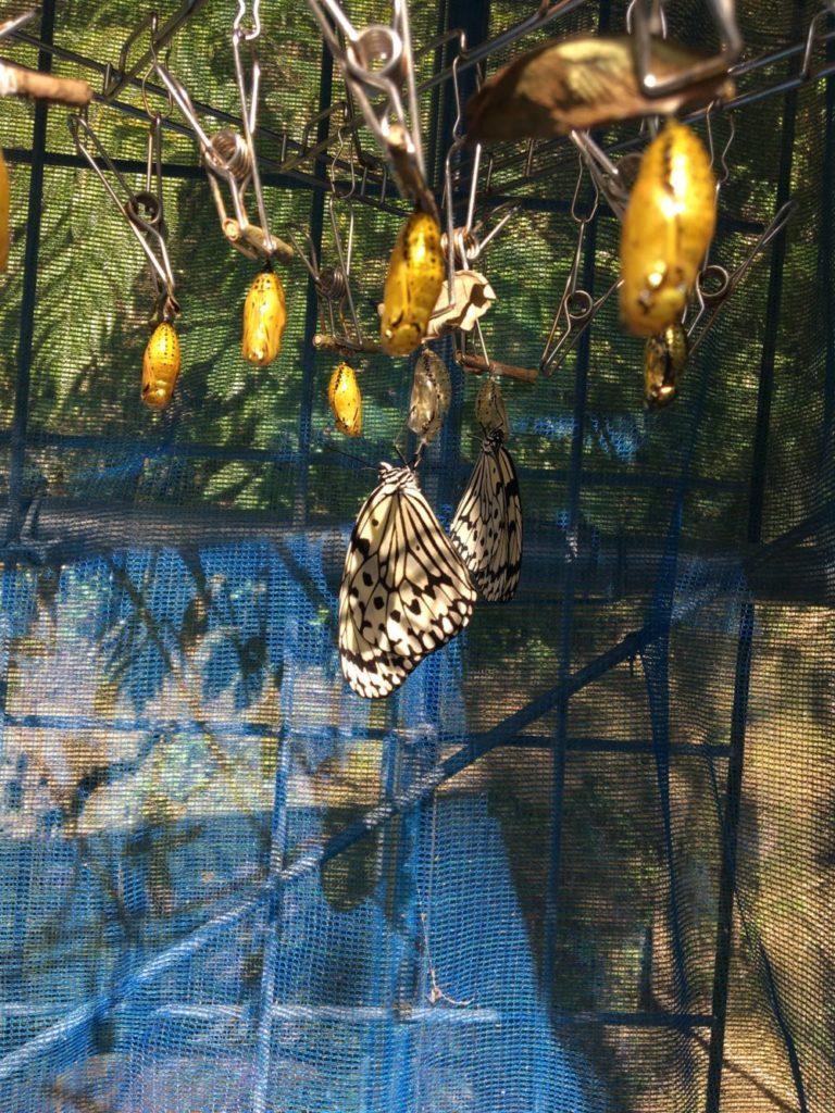 オオゴマダラの孵化する瞬間