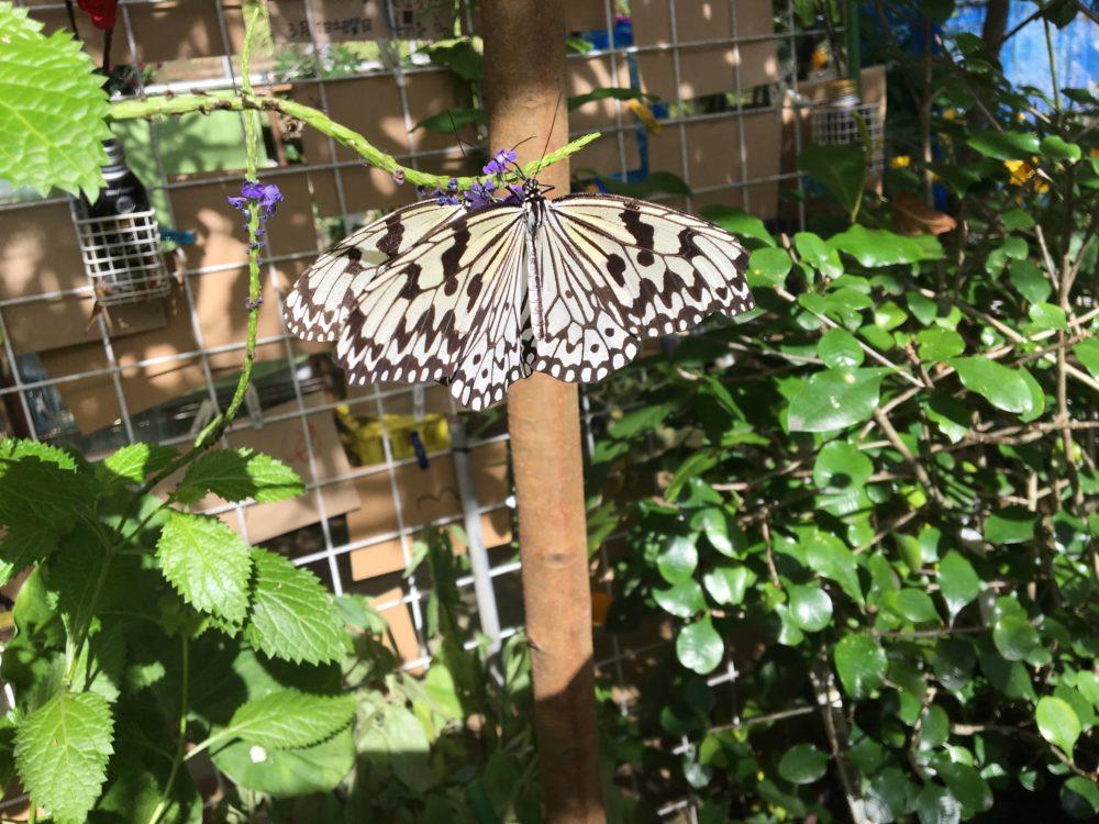羽を広げるオオゴマダラ