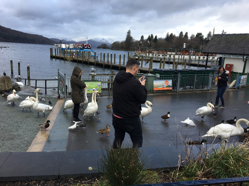 ウィンダム湖にいた白鳥の群れ