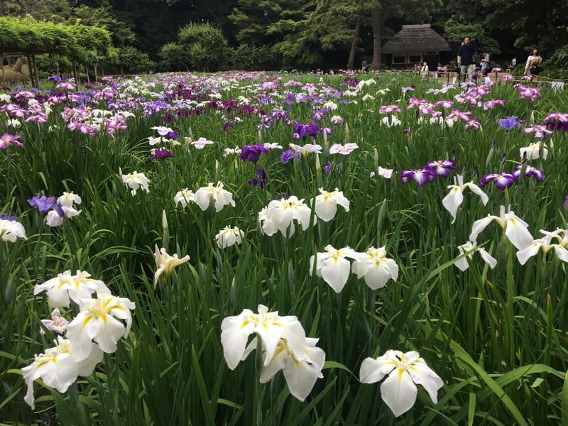 美しく咲く花菖蒲